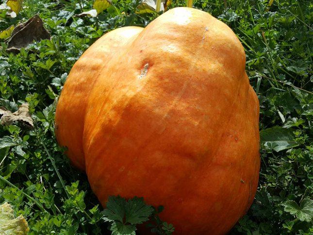 how-to-grow-a-giant-pumpkin