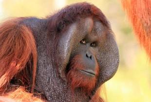 Orana Wildlife Park-Orangutan