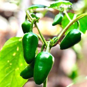 12 Weeks Pregnant-pepper